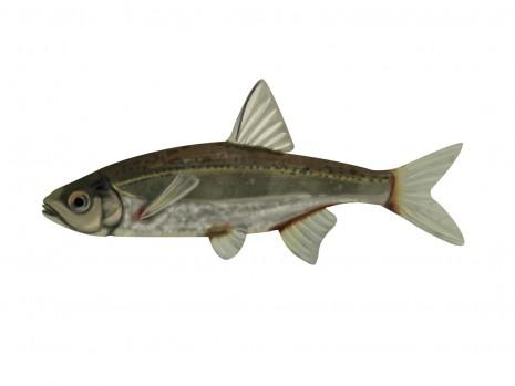 illustration de poisson, le Blageon